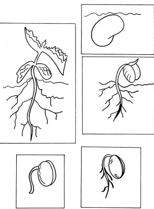 ciclo de vida de las plantas para colorear para niños