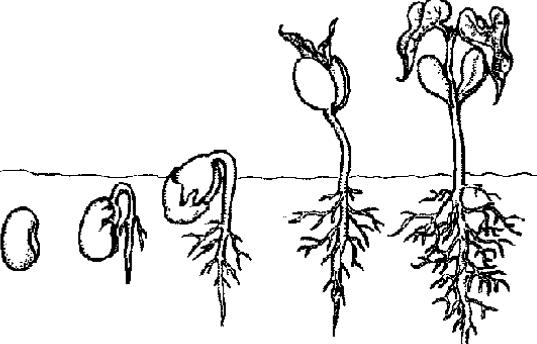 ciclo de vida de las plantas para pintar