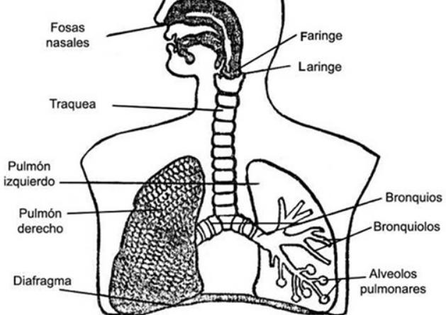 sistema respiratoio para niños para colorear