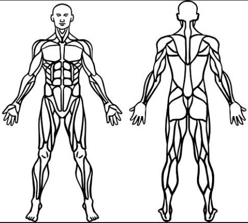 sistema muscular para colorear