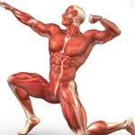 Sistema Muscular para Niños