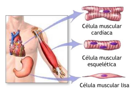 sistema muscular para niños de primer grado
