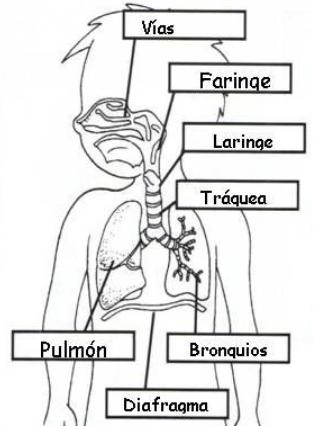 sistema respiratorio para niños de primer grado