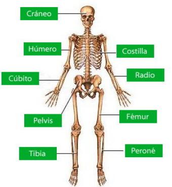 Sistema óseo Para Niños Tu Escuelita