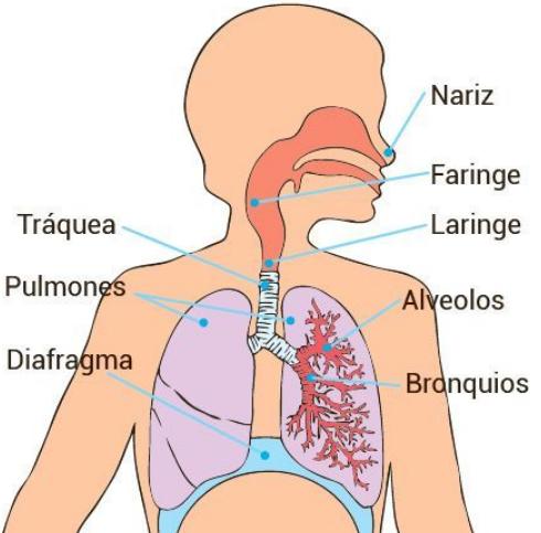 sistema respiratorio para niños de tercer grado